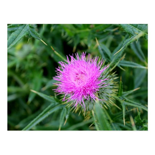 Postcard featuring vibrant thistle.