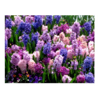 Postcard Floral Common Hyacinth