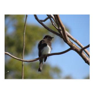 Postcard - Flycatcher