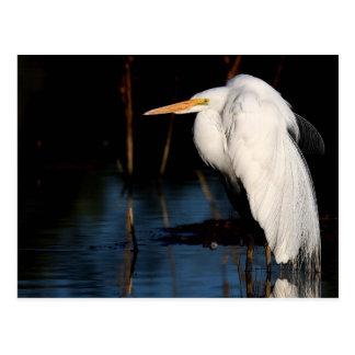Postcard - Great egret hunchback