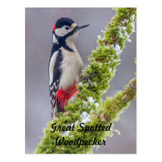 Postcard Great Spotted Woodpecker mossy branch