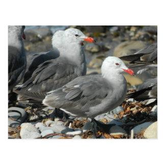Postcard Heerman's Gull Seagulls Sea San Pedro CA