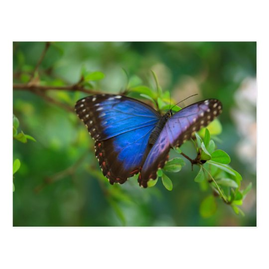 Postcard-Insects-A Blue Butterfly Postcard