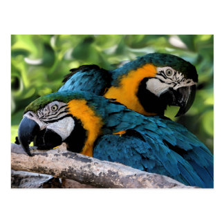 Postcard/Macaws Postcard
