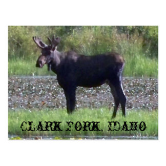 "POSTCARD ~ ""Moose in the Meadow"" - Clark Fork, ID"