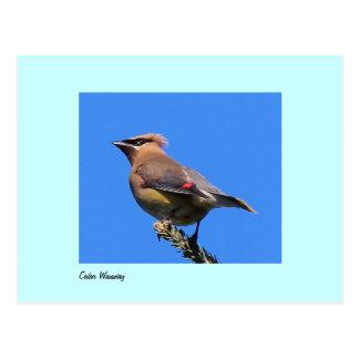 Postcard of Cedar Waxwing
