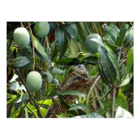 Postcard of Iguana in Mango Tree