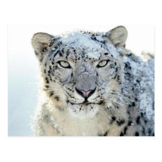 Postcard- Snow Leopard Postcard