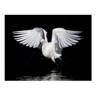 Postcard - Snowy egret
