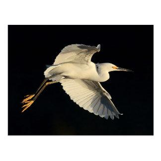 Postcard - Snowy egret flyby