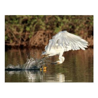 Postcard - Snowy egret miss