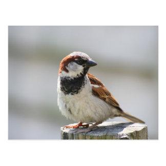 Postcard: Sparrow Postcard