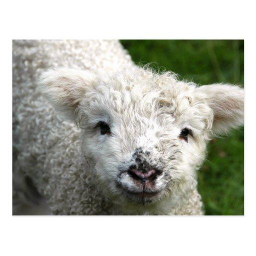 Postcard - Spring Lamb