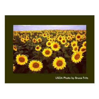 Postcard / Sunflowers in Fargo North Dakota.