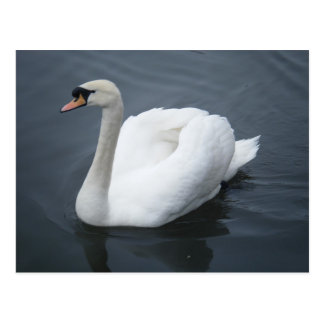 Postcard - Swan