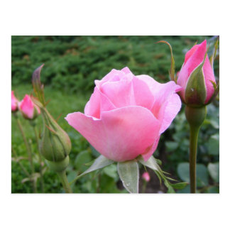 Postcard with beautiful pink roses