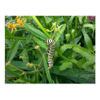 Postcard with Monarch Butterfly Caterpillar