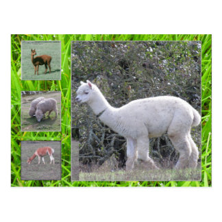 Postcard - Wool on the hoof