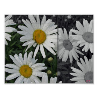 POSTER 11x8.5, Daisies