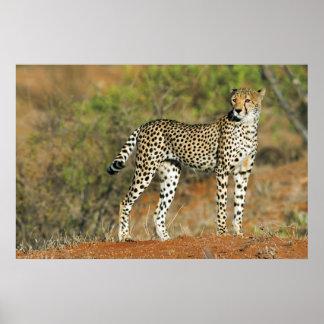 Poster - 36x24 Cheetah