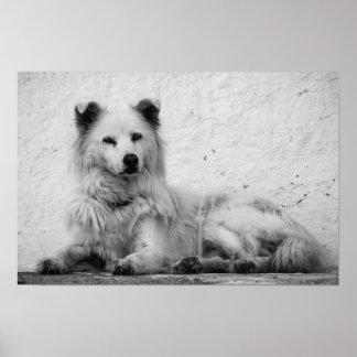 Poster - Alert White Dog on Santorini, Greece