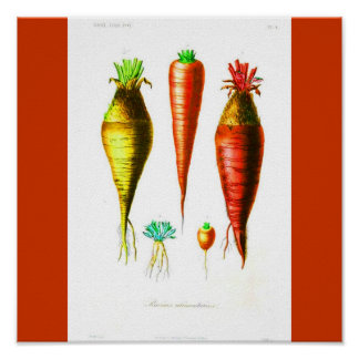 Poster-Botanicals-Carrot Poster