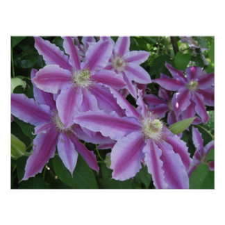 POSTER - Clematis flowers in spring in UK