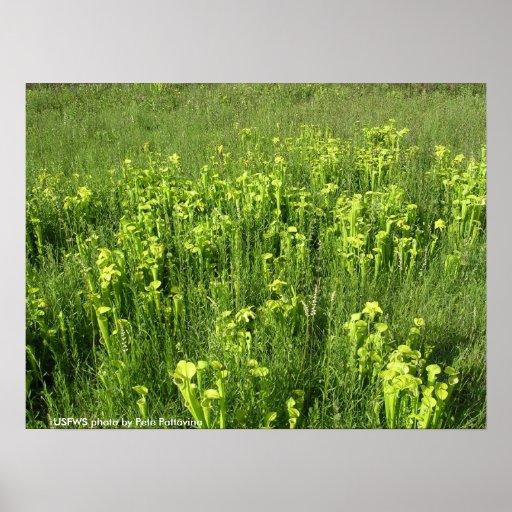 Poster / Endangered Green Pitcher Plants
