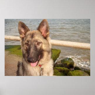 Poster German Shepherd