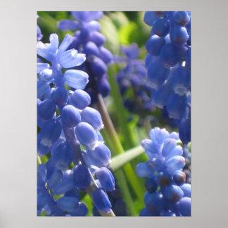 Poster - Grape Hyacinth
