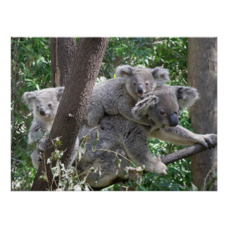 Poster Koala and Two Babies Photo Australia