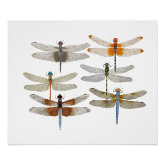 Poster of 6 dragonfly species