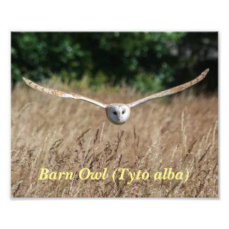 Poster of flying barn owl in flight