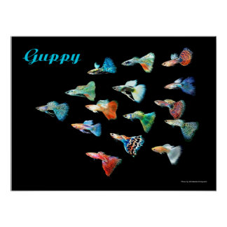 Poster of guppy