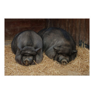 Pot Bellied Pigs Huge Poster Print