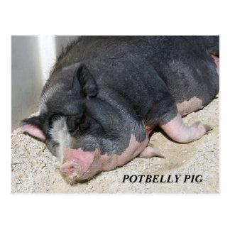 POTBELLY PIG POSTCARD