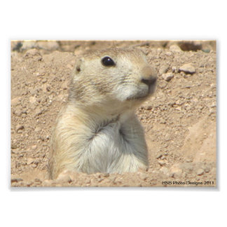 Prairie Dog at San Angelo State Park in San Angelo Photo Print