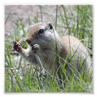 Prairie Dog Lunch Break Photo Print
