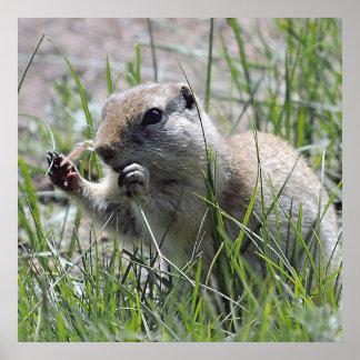 Prairie Dog Lunch Break Poster