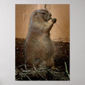 Prairie Dog Photo Poster