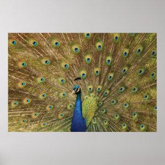 Preening Peacock Poster