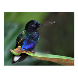 Pretty Black, Blue and Green Hummingbird Postcard