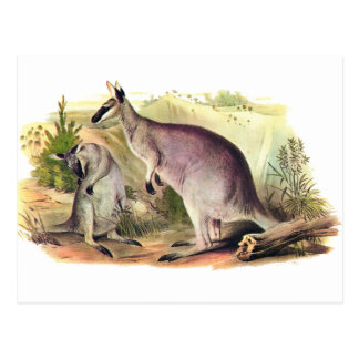 Pretty-faced Wallaby Postcard