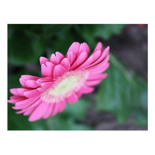 pretty gerbera flower postcard