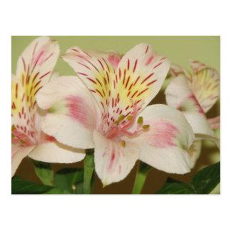 Pretty Lily Postcard