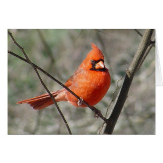 Pretty Northern Cardinal Red Bird Card