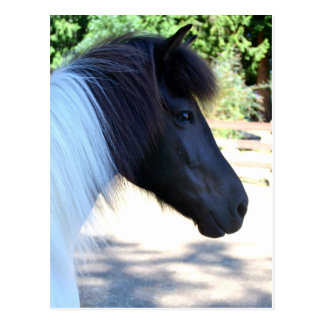 Pretty Paint Icelandic Horse Postcard