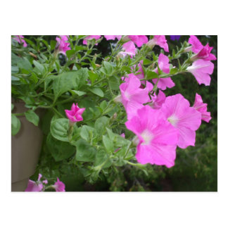 Pretty Petunias Postcard