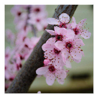 Pretty Pink Cherry Blossom Flowers Poster