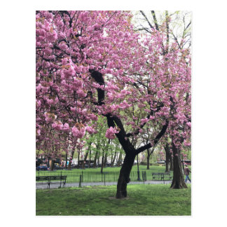 Pretty Pink Cherry Blossom Tree NYC New York City Postcard